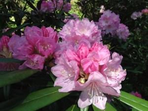 美しいシャクナゲの花