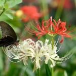 リコリス(Lycoris 彼岸花 曼珠沙華)の特徴と花言葉