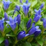 リンドウ(Gentian)の特徴と花言葉