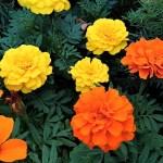 マリーゴールド(marigold)の特徴と育て方 花言葉と由来