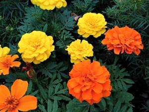 太陽の花、マリーゴールド