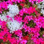 シバザクラ(芝桜  moss phlox)の特徴と育て方や花言葉