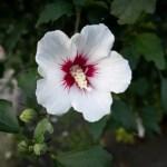 ムクゲ(木槿 rose of Sharon)の特徴と育て方や花言葉 誕生花
