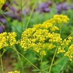 オミナエシ(女郎花 patorinia)の特徴と育て方や花言葉