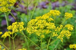 女郎花 オミナエシの花