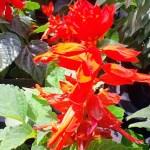 サルビア(Salvia)の特徴と育て方や花言葉 誕生花