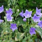 キキョウ(桔梗 Balloon flower)の特徴と育て方や花言葉 誕生花
