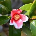 ワビスケ(侘助 Camellia wabisuke)の花の特徴と育て方や花言葉