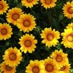太陽のようなガザニア(勲章菊 Gazania)の特徴と育て方や花言葉