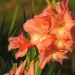 グラジオラス(唐菖蒲 オランダアヤメ Gladiolus)の特徴と育て方や花言葉 誕生花