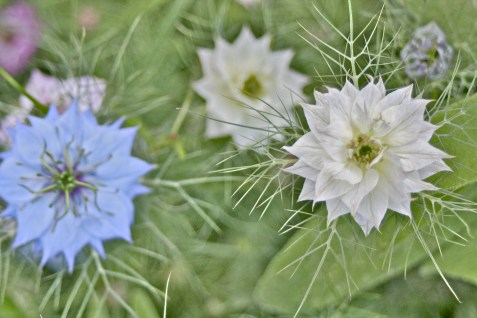 Nigella Sativa, Persian Jewel