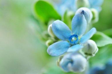 「blue star 花」の画像検索結果