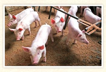 花の木農場の豚