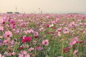 ピンクのコスモスの画像-02