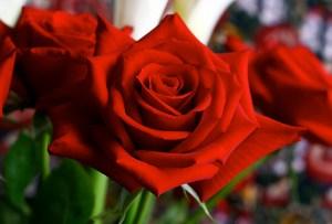 バラ、Rose