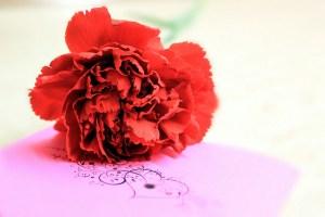 カーネーション、Carnation