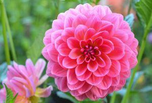 ピンクのダリアの画像-02