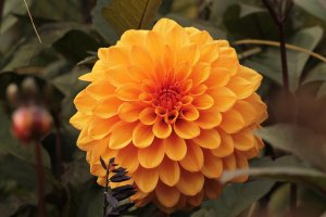 オレンジのダリアの画像-03