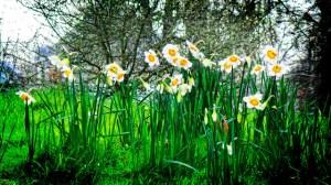 水仙、Narcissus
