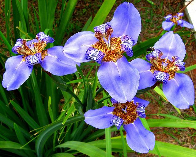 アヤメ科の花(花一覧。画像・写...