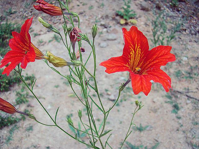 ナス科、Solanaceae
