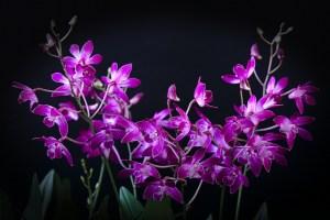 デンドロビウム、Dendrobium