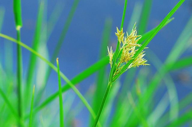 イネ科、Poaceae