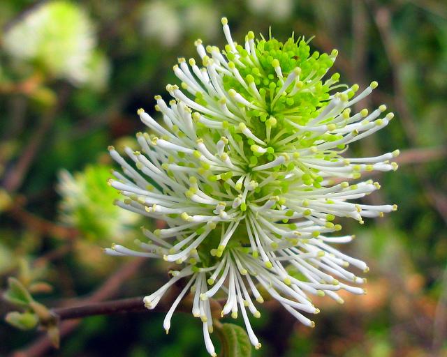 マンサク科、Hamamelidaceae