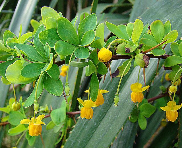メギ科、Berberidaceae