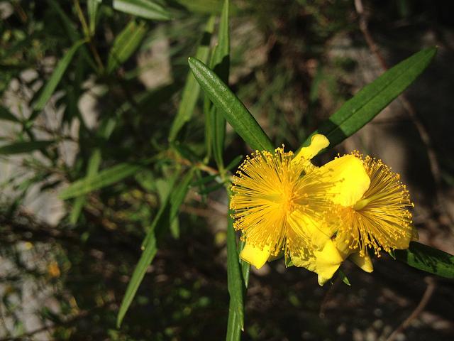 オトギリソウ科、Hypericaceae