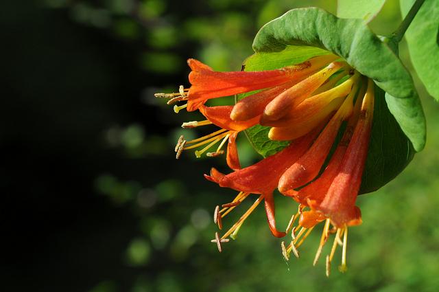 スイカズラ科、Caprifoliaceae