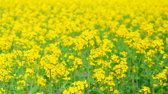 菜の花、Field mustard