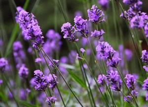 ラベンダー、Lavender