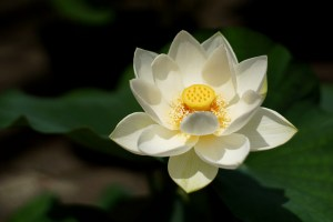 蓮、Lotus