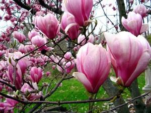 モクレン、Magnolia