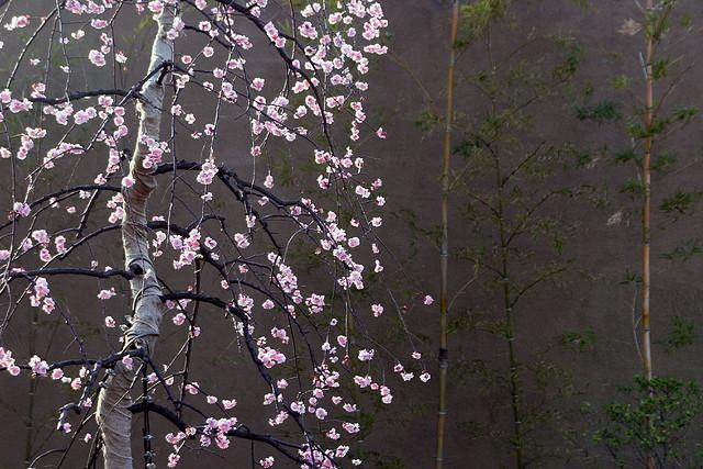 ウメ、Plum blossom