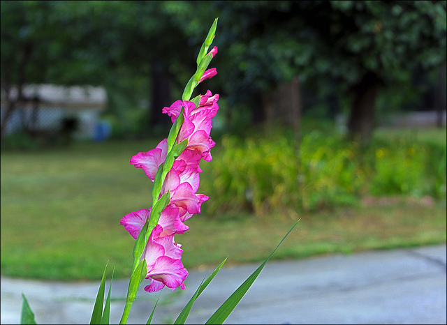 グラジオラス、Gladiolus