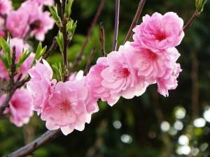 桃、Peach blossom