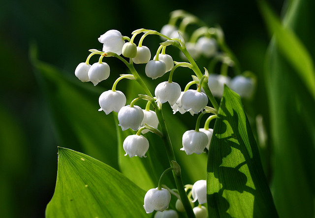 スズラン、Lily of the valley