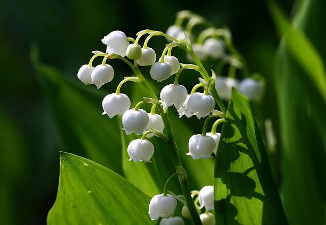 スズラン、Lily of the valley