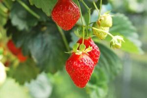 イチゴ、strawberry
