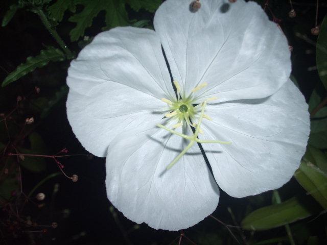 Evening primrose_tsukimisou_01