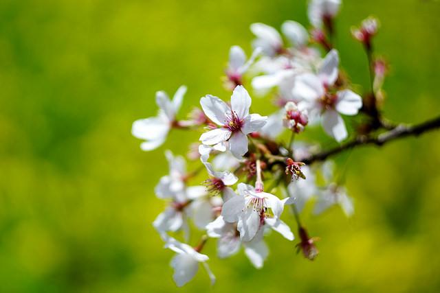 3月の花(画像、花言葉、誕生花...