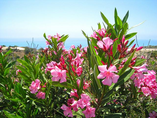 キョウチクトウ、Oleander