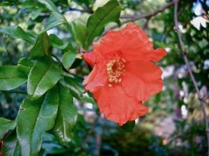 ザクロ、Pomegranate
