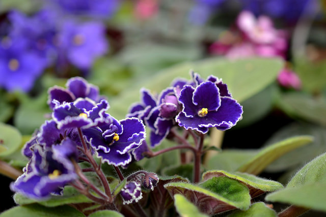 セントポーリア、African violet