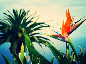 ストレリチア、Bird of Paradise