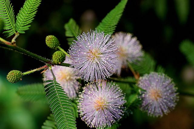 オジギソウ、Sensitive plant