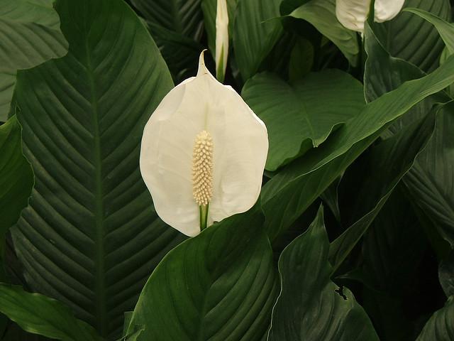 スパティフィラム、Spathe flower