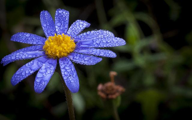 ブルーデイジー、Blue daisy